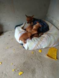 Vendo cachorrinhos machos raça pinscher 1