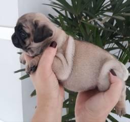 Lindos pugs padrão mini