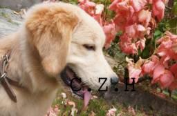 Golden Retriever padrão. com pedigree e garantia de saúde