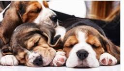 Beagle fêmea tricolor disponível, tem garantia de pureza