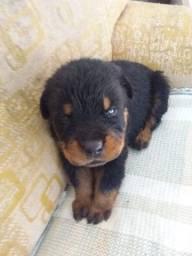 Filhotes de cachorro de Raça Rottweiler