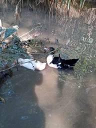 Patos e patas filhote