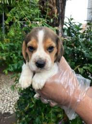 Beagle tricolor, com todas as garantias!!
