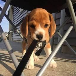 Beagle macho ja vacinado e comendo ração seca