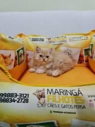 Vende-se lindos filhotes de gatos persas machos e fêmea