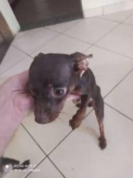 Tenho um cachorro macho Pinscher pra cruzar cor rara chocolate