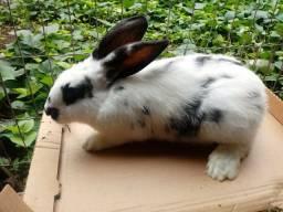 Último macho coelho gigante