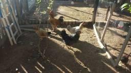 Galinhas Ganize,galinhas mestiças