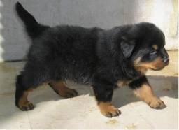 Rottweiler, Cabeça de Touro, com Garantia