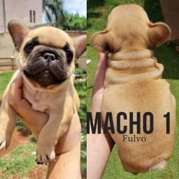 Bulldog Francês Macho Parcelado s/ juros