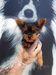 Yorkshire Terrier. Conheça Nossa Loja!
