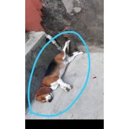 vendo Cachorro beagle de raça