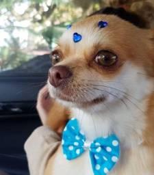 Galã de cinema Chihuahua, procurando namoradinha