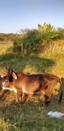 Vendo vaca girolanda