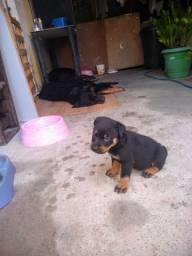 Rottweiler com um mês zap *72