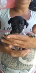 Vendo filhote de cachorro pinscher
