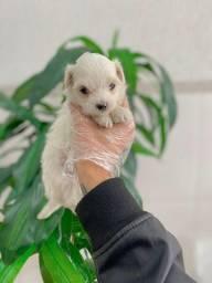 Maltês tamanho micro e padrão, filhotinho com pedigree!
