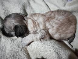 2 cachorrinhas fêmea  poodle N°1