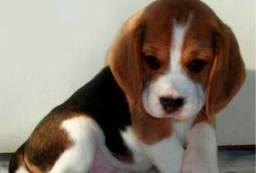 :;:; Beagle 13 Polegadas com Pedigree e Garantia de Saúde Mini