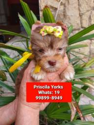 Yorkshire terrier Biwer biro chocolate filhotes