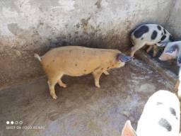 Vendo porco para cachaço