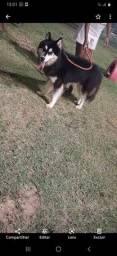 Husky siberiano macho pelagem wolly com Pedigree disponível pra cruzar