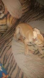 Vendo filhote de Pinscher fêmea