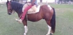 Vendo cavalo marchador
