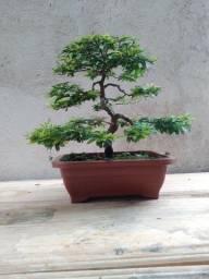 Bonsai caliandra branca