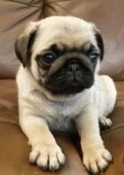 Pug porte pequeno filhote com vacina importada e pedigree