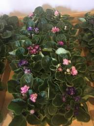 Lote de Violetas