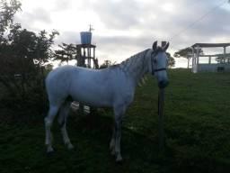 Cavalo mangalarga top v/t