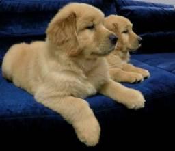 Lindos filhotes de Golden disponíveis