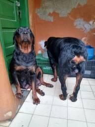 Vendo filhotes de rottweiler macho 650 é fêmea 700 falar com Marcelo tel *