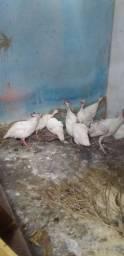 Galinha d Angola Branco