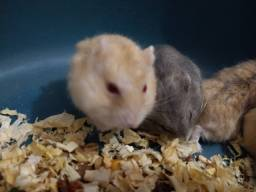 Hamster mais Gaiola