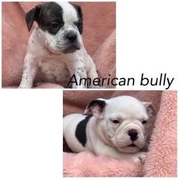 American bully com pedigree e microchip