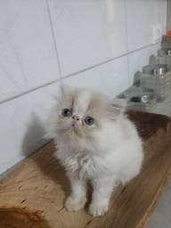 Vende se filhote de Gato persa