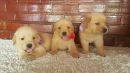 Filhotinho de cães da raça Golden Retriever + recibo, pedigree e garantia