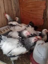 Disponível frangos e frangas Light sussex!