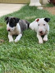 """Filhotes de Bull Terrier com """"61 DIAS""""!"""