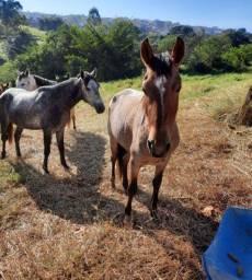 Cavalo registrado