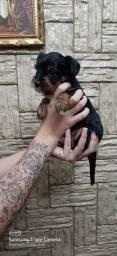 Fêmea Yorkshire Terrier