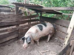 Porco macho durok
