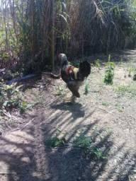 Vendo frangos com 4 meses Raça Brahma