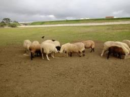 Vende-se carneiras prenhas