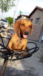Cachorro salsicha por R$300,00 mas, podemos negociar o valor.