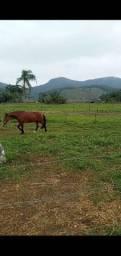 Cavalo Crioulo com documento