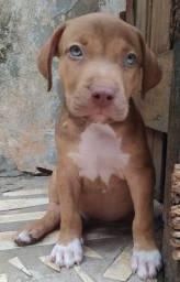 American pit bull terrier- MACHO
