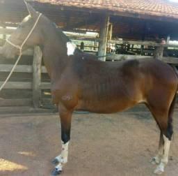 Linda potra Pampa de castanho 30 X 400,00